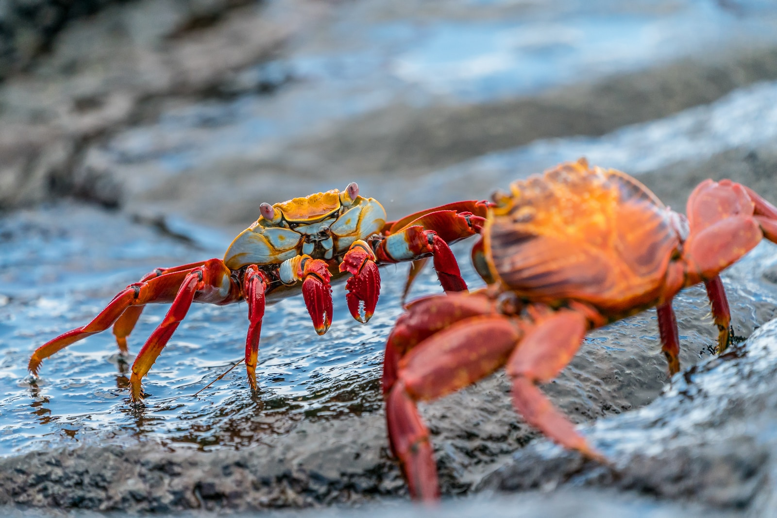 two crabs on rock